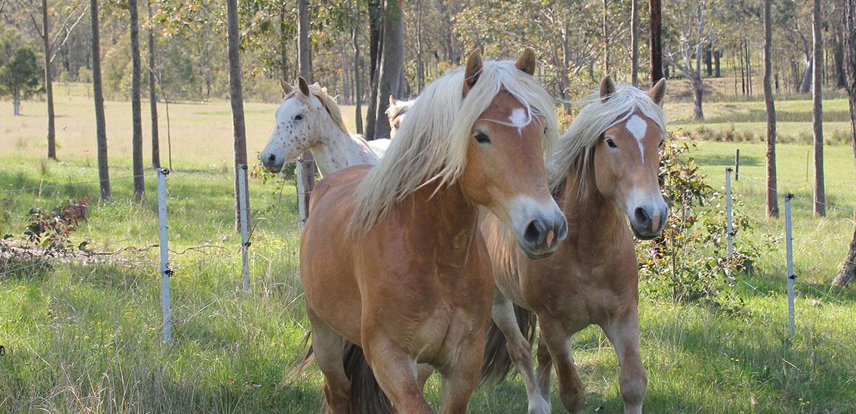 Haflinger Horses in Australia