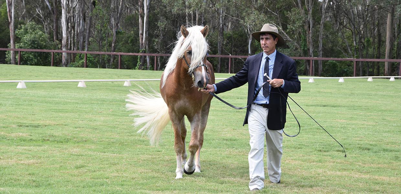 Australian Haflinger Horse Breeders Association