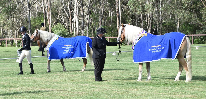 Prize Winning Australian Haflinger Horses