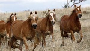 Rosetta Mares Haflinger Horses, Australia