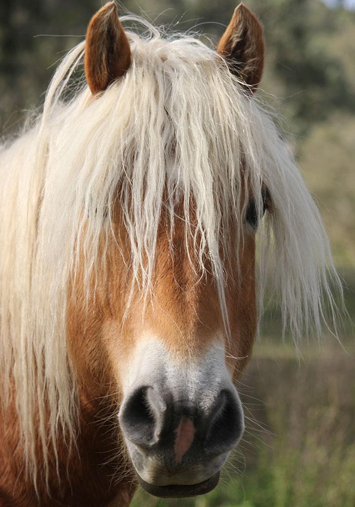 Haflinger Stallion, Nova