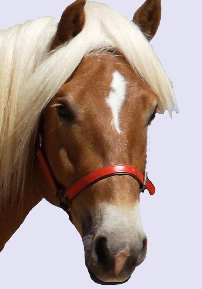Haflinger Stallion, Rosymoon Sebastopol